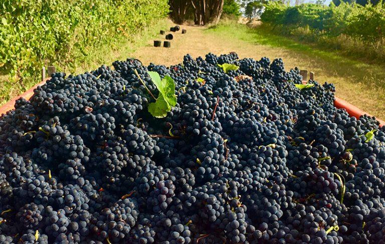 Finestra Pinot Grapes sml 768x487